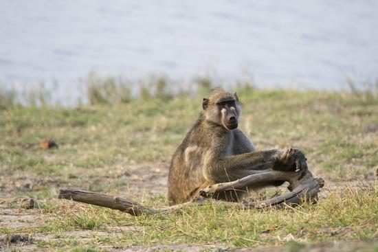sergio-pitamitz-chacma-baboon