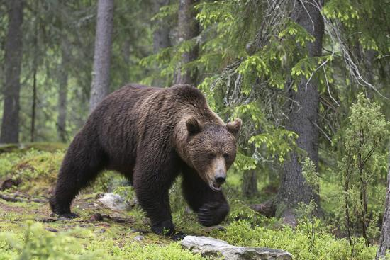 sergio-pitamitz-european-brown-bear-ursus-arctos-kuhmo-finland-scandinavia-europe