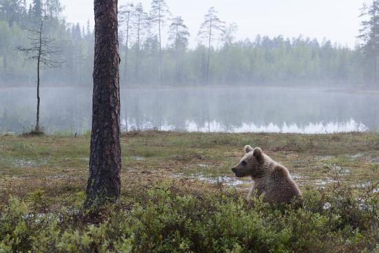 sergio-pitamitz-european-brown-bear-ursus-arctos-kuhmo-finland-scandinavia-europe