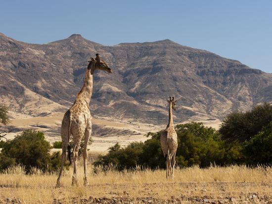sergio-pitamitz-giraffe-giraffa-camelopardalis-skeleton-coast-national-park-namibia-africa