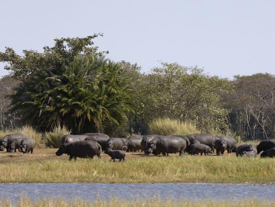 sergio-pitamitz-hippopotamus-hippopotamus-amphibius-busanga-plains-kafue-national-park-zambia-africa