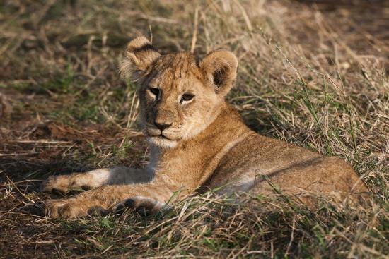 sergio-pitamitz-lion-cub-masai-mara-kenya
