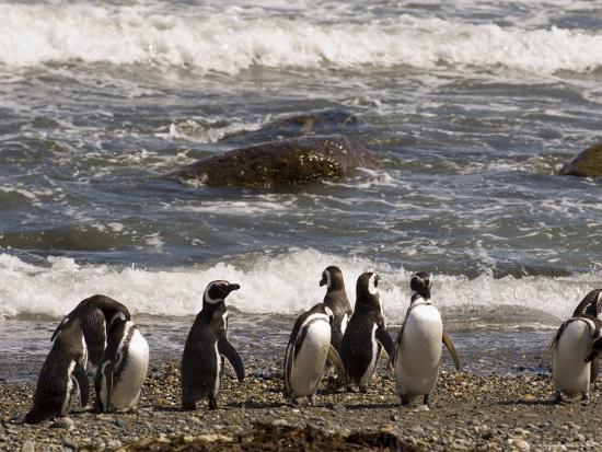 sergio-pitamitz-magellanic-penguin-colony-seno-otway-patagonia-chile-south-america