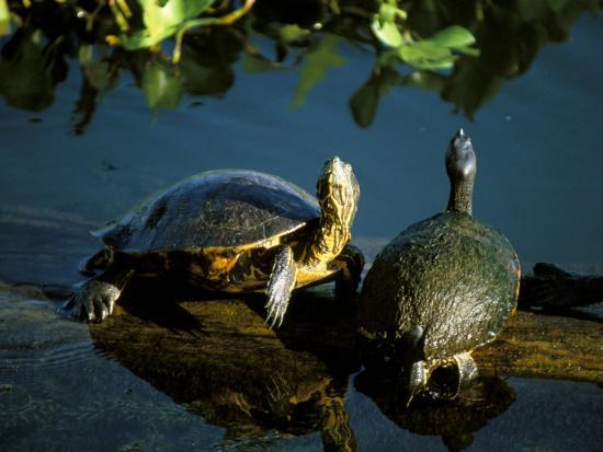 sergio-pitamitz-mesoamerican-slider-turtles-river-chagres-soberania-forest-national-park-panama