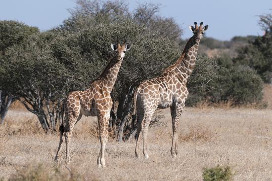 sergio-southern-giraffe-giraffa-camelopardalis-mashatu-game-reserve-botswana-africa