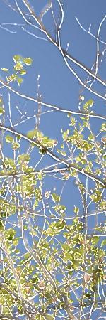 sharon-chandler-spring-poplars-iv