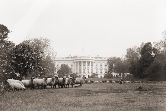 sheep-grazing-on-the-white-house-lawn-during-world-war-1-from-1916-to-1919