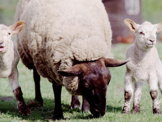 sheep-grazing-with-young-lambs
