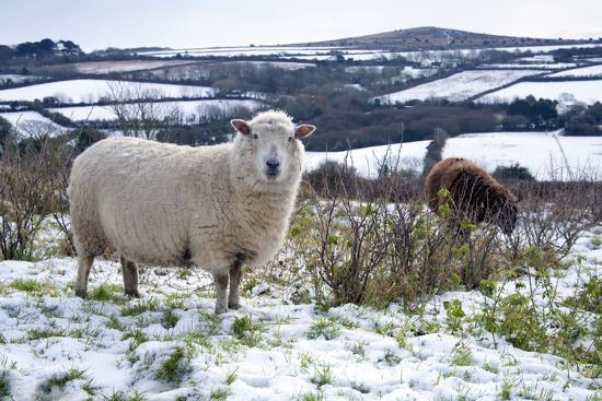 sheep-in-snow