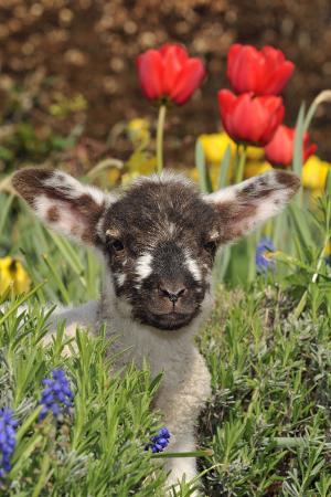 sheep-lamb-in-spring-flowers