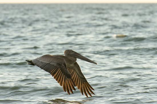 sheila-haddad-brown-pelican-close-up-flying-over-water