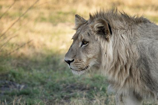 sheila-haddad-male-lion-standing-intense-look-close-up