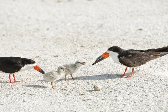 sheila-haddad-skimmers-and-chicks