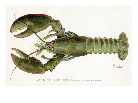 sherman-foote-denton-american-lobster-homarus-americanus