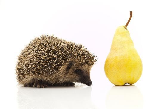 shiffti-little-hedgehog-and-pear