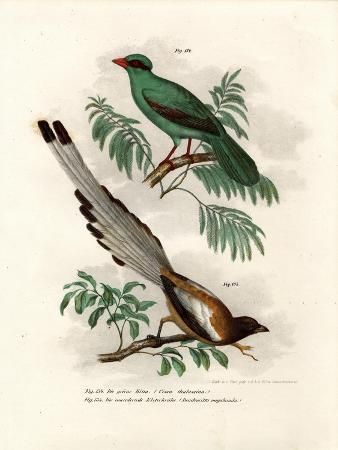 short-tailed-green-magpie-1864