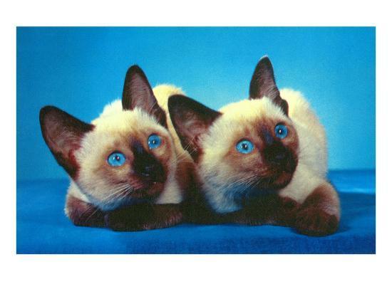 siamese-kittens