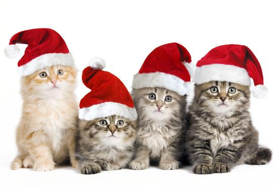 siberian-cat-kittens-in-christmas-hats