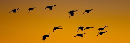 silhouette-of-sandhill-cranes-grus-canadensis-flying-in-the-sky-at-sunrise