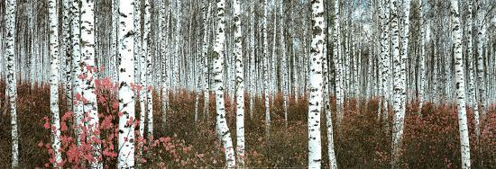 silver-birch-forest-china