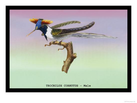 sir-william-jardine-hummingbird-male-trochilus-cornutus