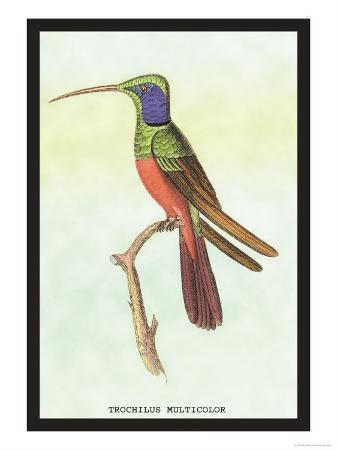 sir-william-jardine-trochilus-multicolor