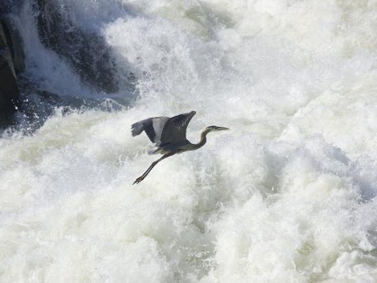 skip-brown-great-blue-heron-flies-over-the-white-water-at-great-falls-park