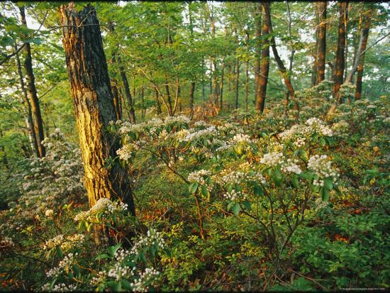 skip-brown-mountain-laurel-blooming-in-a-hyner-view-state-park-forest