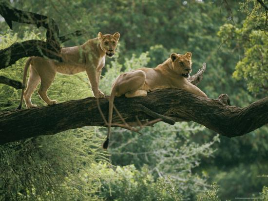 skip-brown-two-african-lions-are-resting-on-a-tree-branch