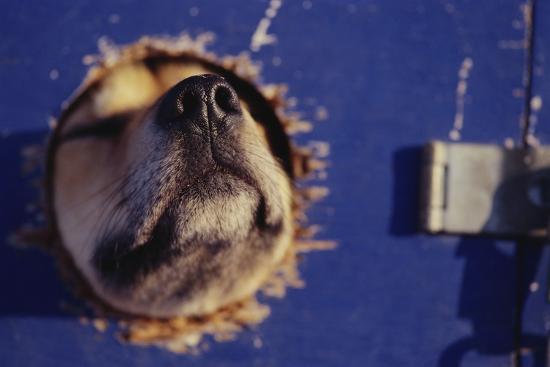 sled-dog-sticking-head-through-hole