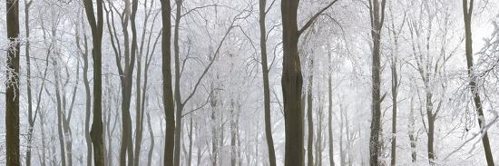 snow-covered-trees-in-a-forest-wotton-gloucester-gloucestershire-england