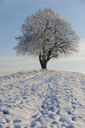 snowy-tree-at-the-osterode-in-the-harz-district-germany-january-9-2009