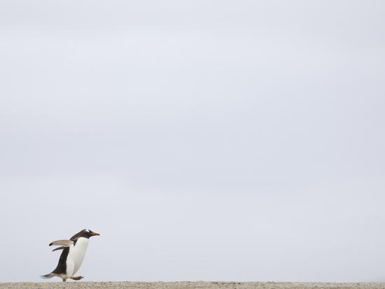 solvin-zankl-commuting-between-the-ocean-and-the-rookery-the-gentoo-penguins-pygoscelis-papua