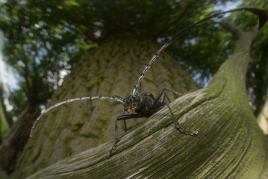 solvin-zankl-great-capricorn-beetle-cerambyx-cerdo
