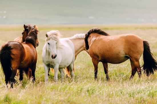 somatuscani-icelandic-horses