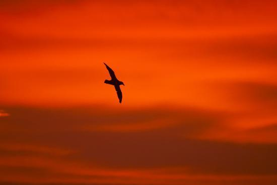 southern-giant-petrel-in-flight-at-sunset
