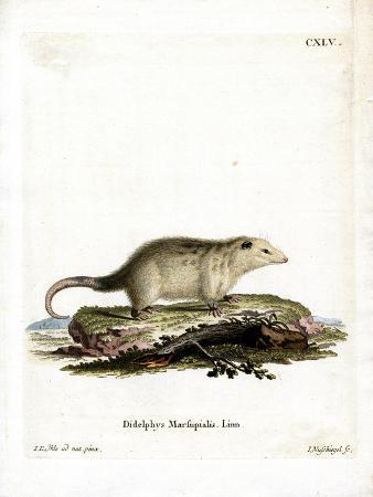 southern-opossum