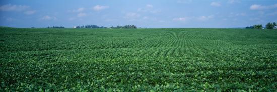 soybean-crop-in-a-field-tama-county-iowa-usa