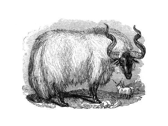 spanish-sheep-1848