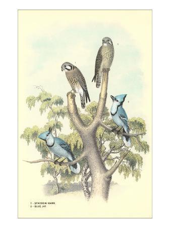 sparrow-hawks-blue-jays