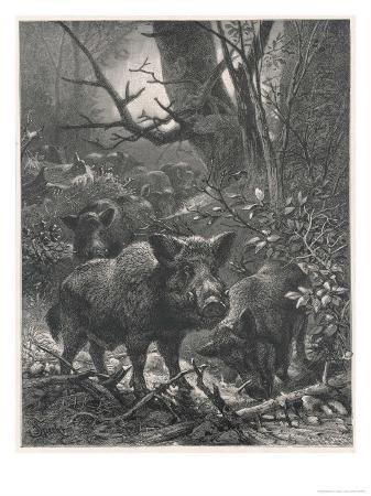specht-herd-of-wild-boar-wander-through-the-woods