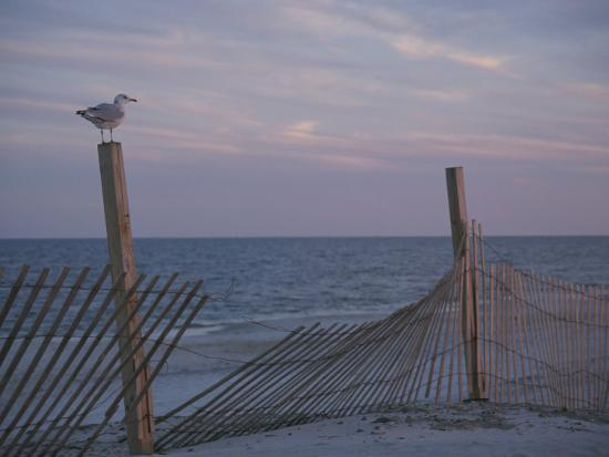 stacy-gold-a-seagull-pauses-momentarily-on-a-wooden-fence-used-for-dune-control