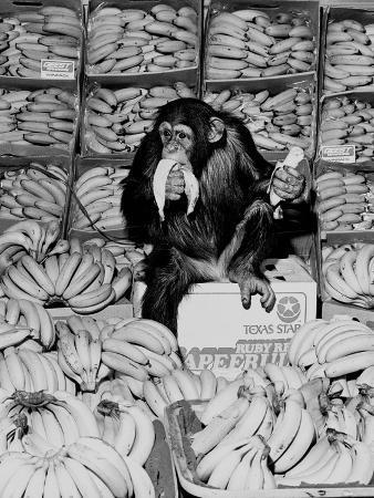staff-a-chimpanzee-in-paradise