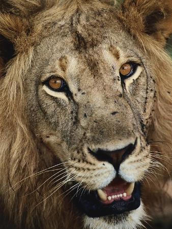 staffan-widstrand-male-lion-s-face
