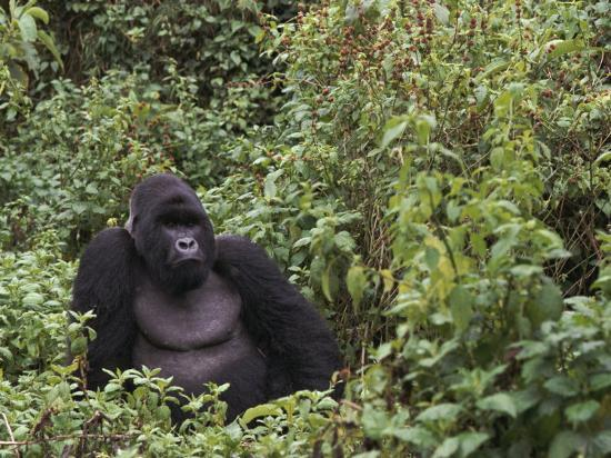 staffan-widstrand-silverback-mountain-gorilla-amongst-vegetation-zaire