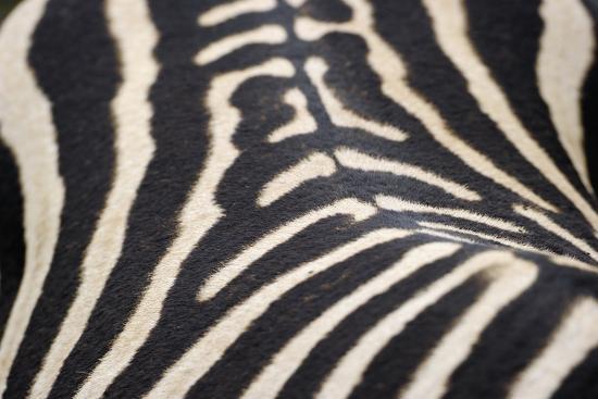 staffan-widstrand-zebra-stripes