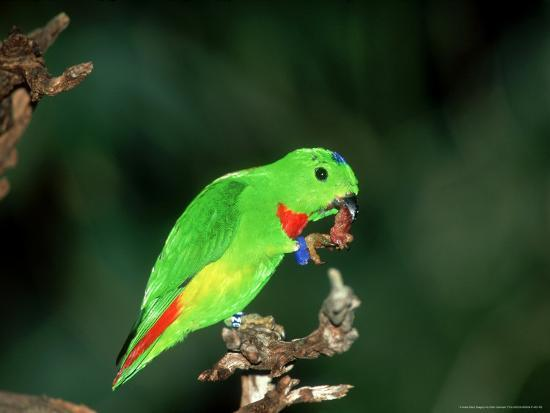 stan-osolinski-blue-crowned-hanging-parrot-male-eating-zoo-animal