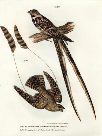 standard-winged-nightjar-1864