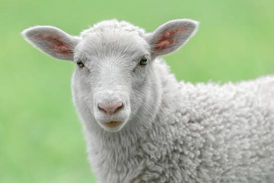 stefanholm-face-of-a-white-lamb