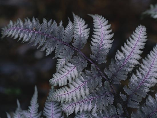 stephen-alvarez-the-leaf-of-a-japanese-painted-fern-emerges-in-spring